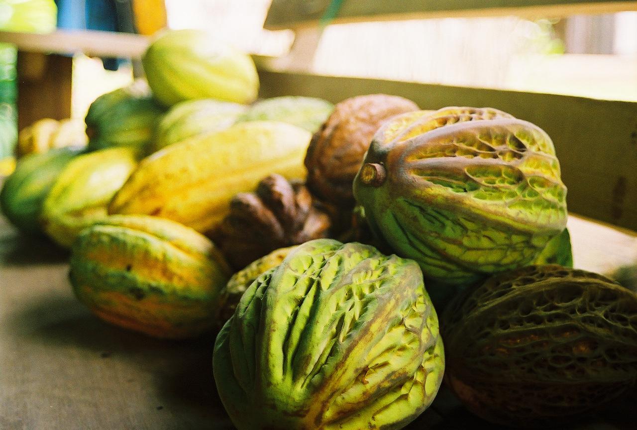 Θεοβρώμα ή κακάο: Theobroma cacao L. (Malvaceae)
