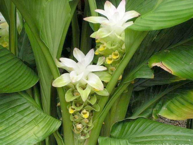 Κουρκούμη η μακρά ή Κιτρινόριζα: Curcuma longa L.