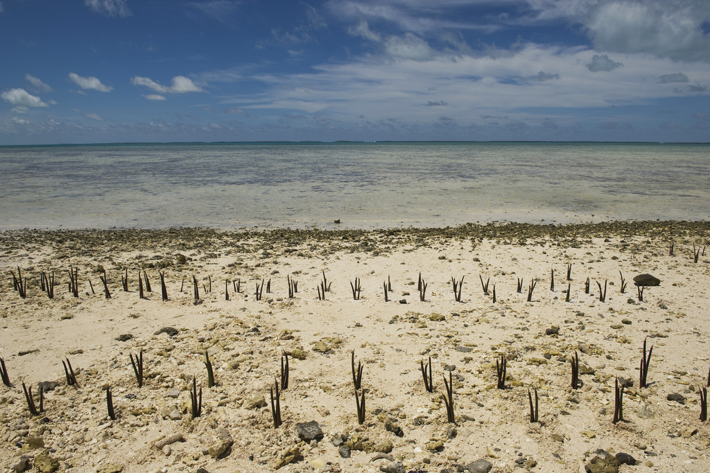 A view of mangrove shoots planted by Secretary-General Ban Ki-moon and others on Tarawa, an atoll in the Pacific island nation of Kiribati. Mr. Ban made an official visit to the area to discuss local people's concerns about the effects of climate change on this low-lying land. Photo Credit: United Nations Photo